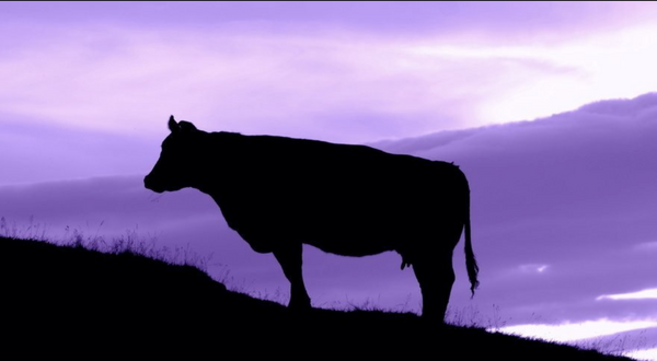 Purple Cow Focus: The Microsoft Lesson for Startups
